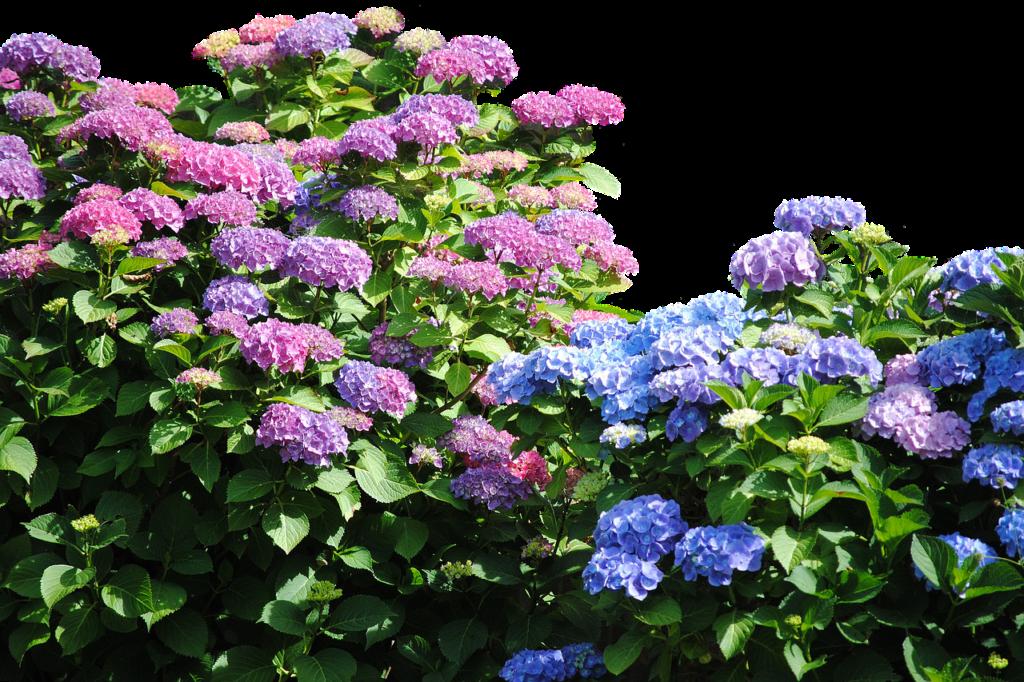 Гортензия садовая: посадка и уход в открытом грунте