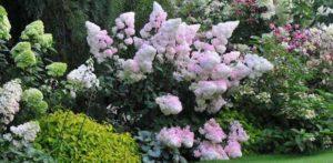 Гортензия метельчатая — посадка и уход в открытом грунте