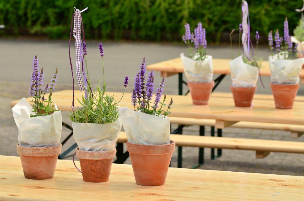 Садовая лаванда: уход и посадка на дачном участке, правила выращивания