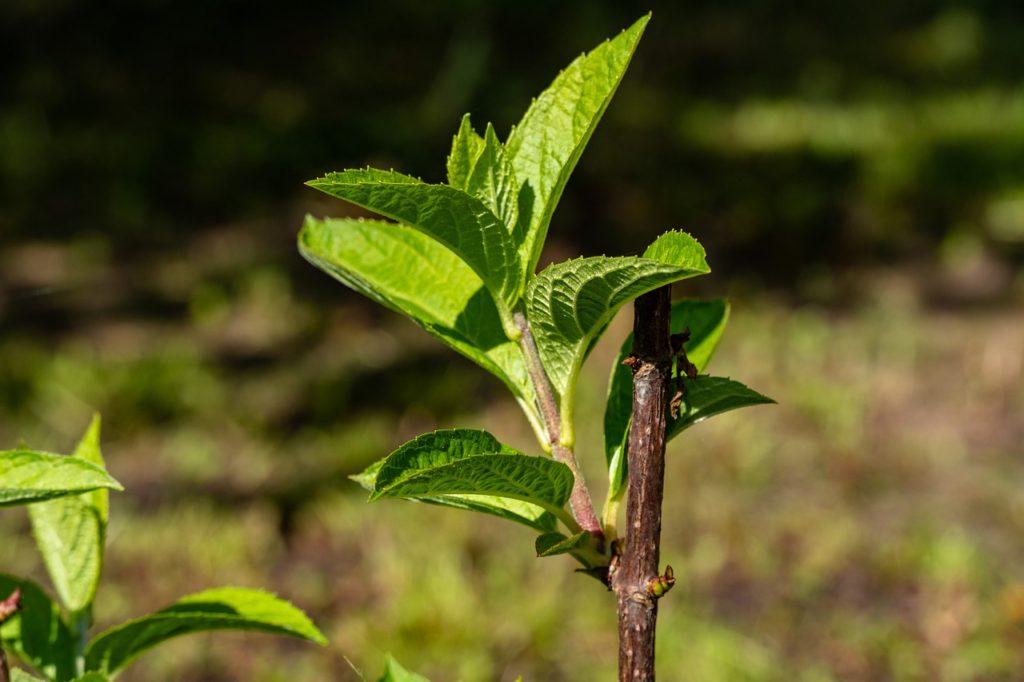 Когда пересаживать гортензию садовую, метельчатую на другое место