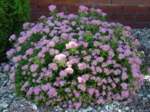 Садовое растение спирея: белая, розовая, прочие популярные сорта