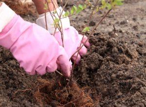 Спирея — уход и выращивание в саду, на дачном участке
