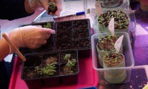 размножение-астильбы-семенами