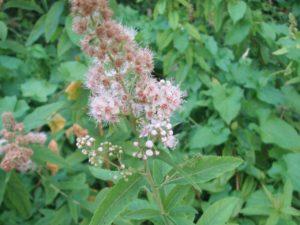 Спирея иволистная: описание, посадка и уход, обрезка растений