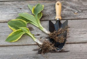 Как размножается хоста семенами, делением куста, черенками: описание