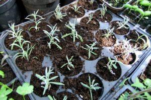 Как размножить лаванду: семена лаванды, черенки, кустовое размножение