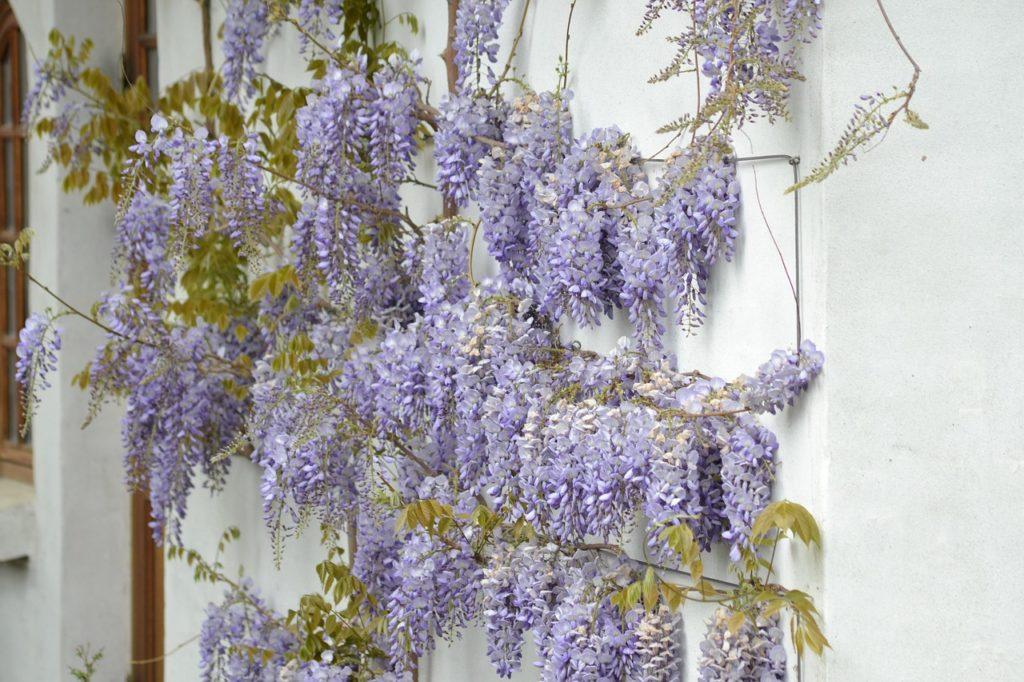 Какие вьющиеся растения для беседки можно использовать для украшения