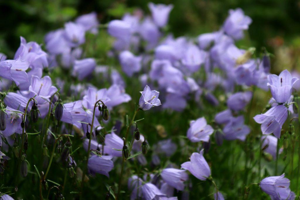 myfoto-bordurnie-cveti-nizkoroslie