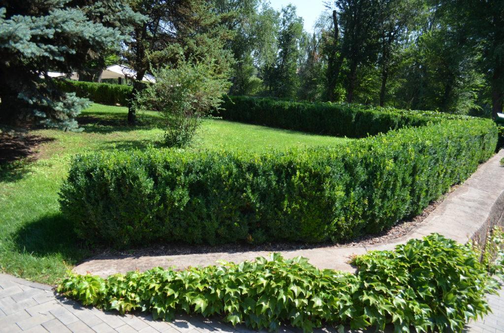 Живая изгородь: из чего лучше сделать, правила посадки