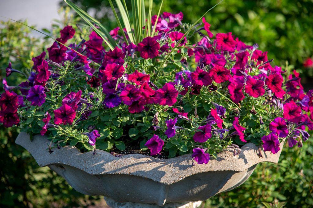 Петуния на клумбе: как рассадить растения красиво, варианты оформления