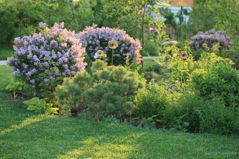 Сирень в ландшафтном дизайне — как красиво посадить на дачном участке