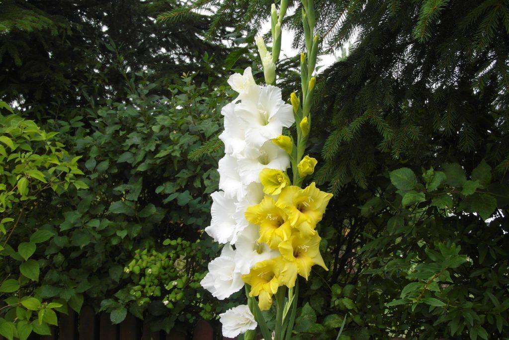 Как красиво посадить гладиолусы на садовом участке