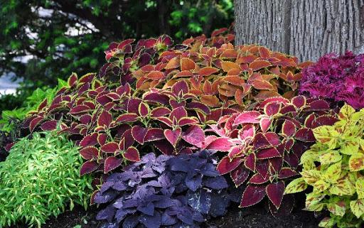 Цветок колеус — как посадить и ухаживать за крапивкой садовой на даче