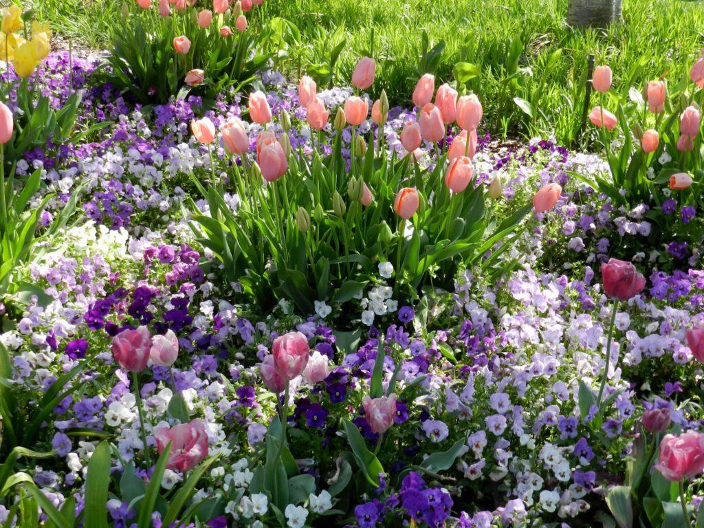 Крокус цветок — описание и правила выращивания растения в саду