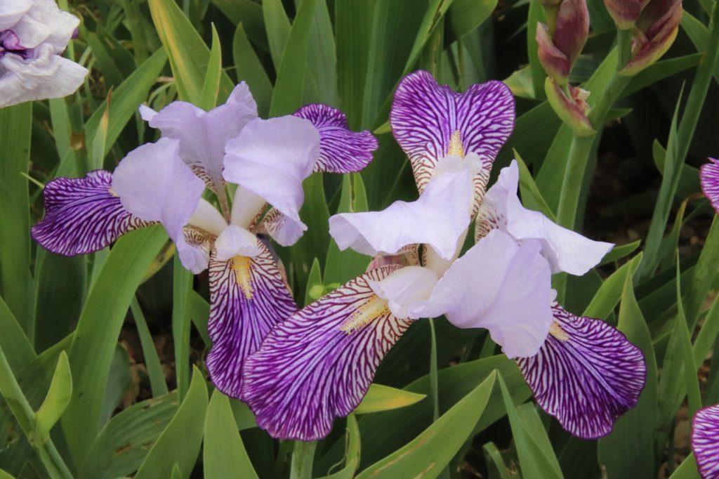 myfoto-irisi-v-landshaftnom-dizayne