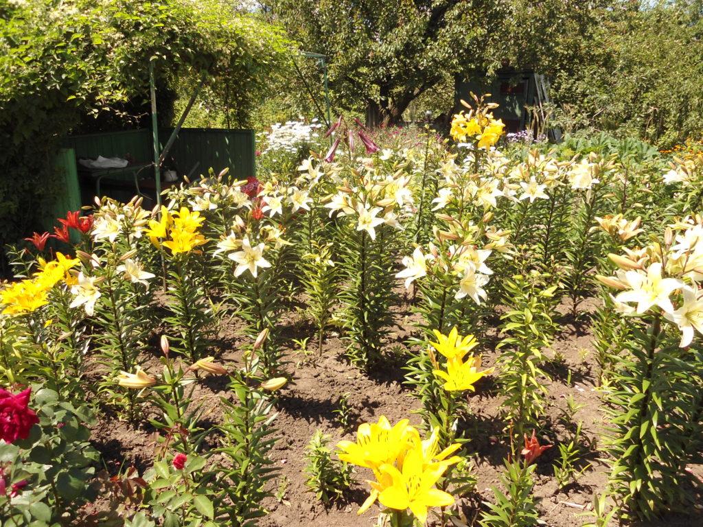 Как оформляется клумба с лилиями в саду — пошаговая инструкция