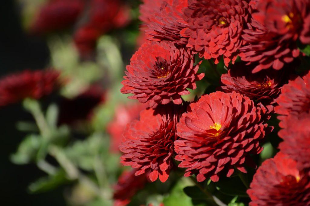 Хризантемы садовые — посадка и уход за цветами в саду