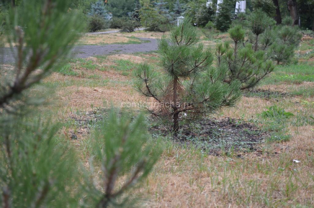 Как посадить и вырастить сибирский кедр на садовом участке