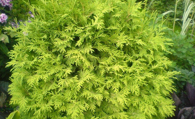 Дерево туя — как посадить и ухаживать на даче