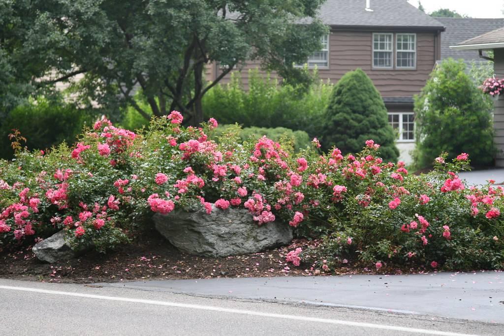 Как сажать розы на дачном участке — особенности ухода за цветами