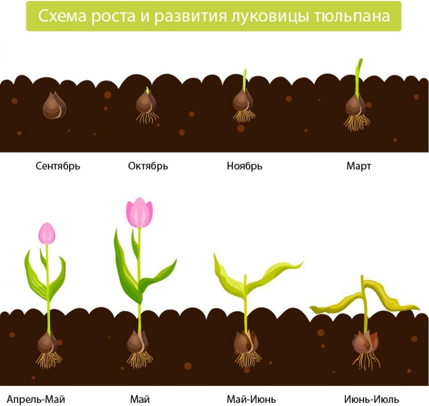 Цветы тюльпаны — как посадить и ухаживать за ними в саду