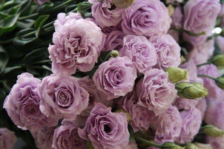 Цветок эустома — особенности выращивания растения на дачной клумбе