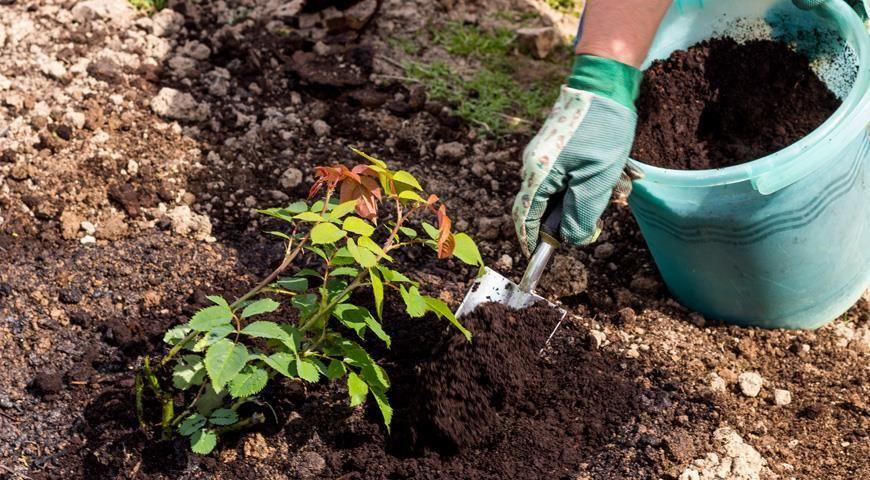 Чем подкормить розы весной для пышного цветения в саду