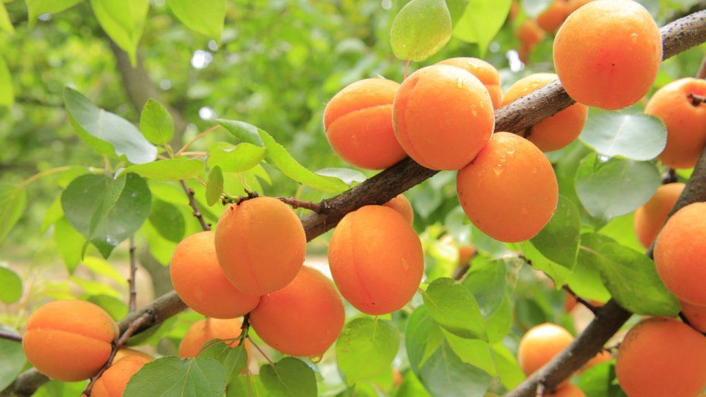 Дерево абрикос — как правильно ухаживать за ним на даче