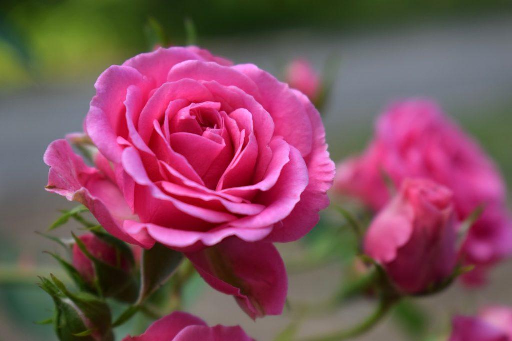 myfoto-chem-udobrit-rozi-v-sadu-dlja-pishnogo-cvetenija