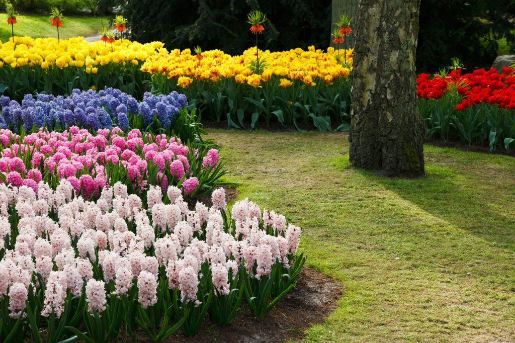 Как посадить цветок гиацинт в открытом грунте и ухаживать за ним