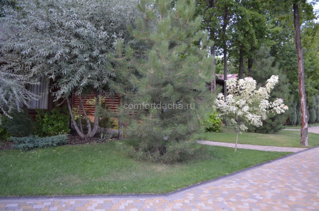 Сосна на садовом участке — плюсы и минусы