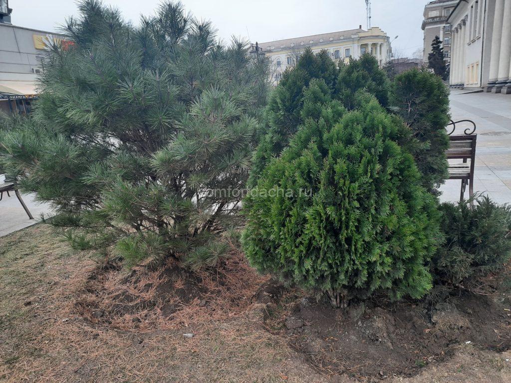 Как ухаживать за туей на даче — условия для выращивания дерева