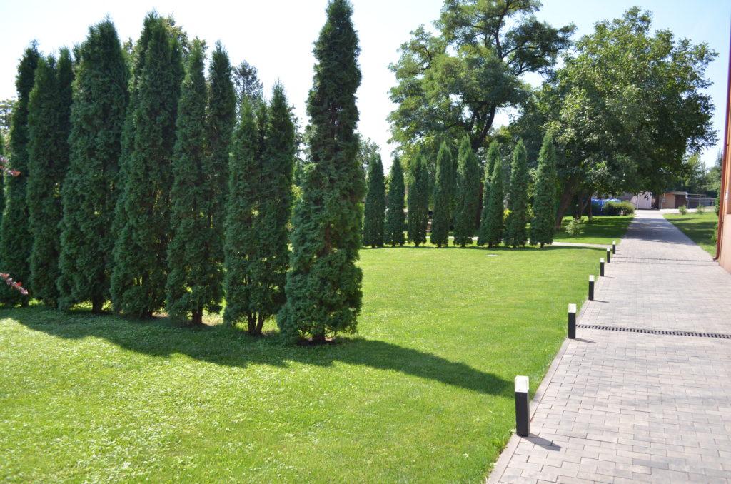 Забор из туи — как вырастить и использовать в ландшафтном дизайне дачи