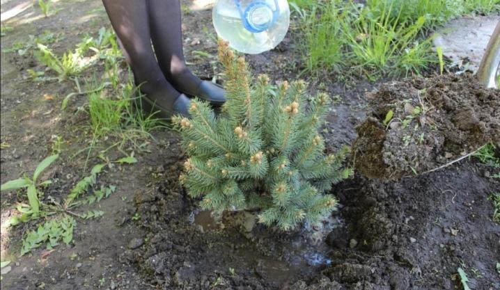 Сосна мугус — посадка и уход за деревом на садовом участке