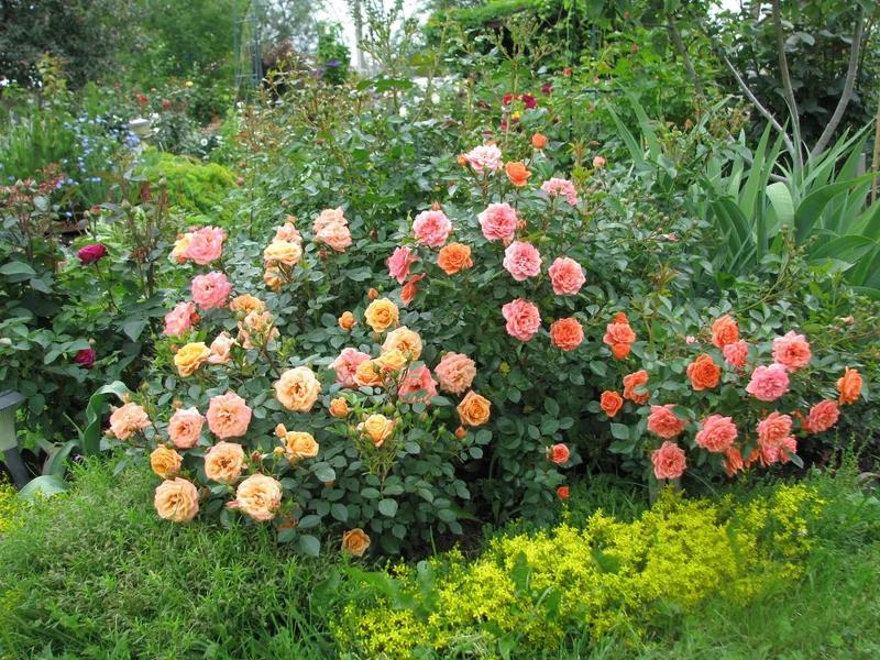 Какие розы самые лучшие для частного сада — описания популярных видов