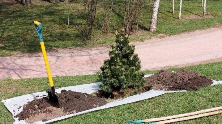 Как пересадить елку из леса на дачный участок