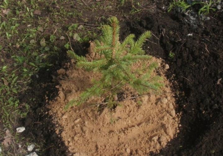 Как пересадить сосну из леса на участок — особенности процедуры