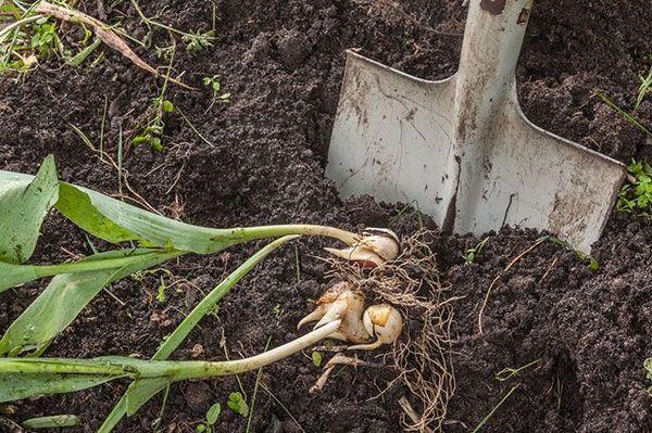Уход за тюльпанами после цветения в саду — что и как делать