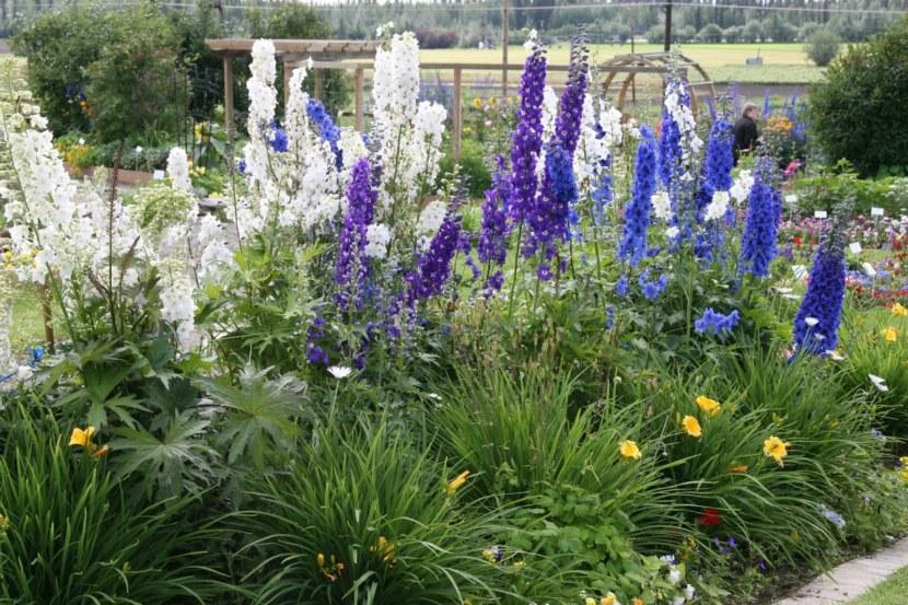 Цветы дельфиниум — посадка и уход за многолетним растением на даче