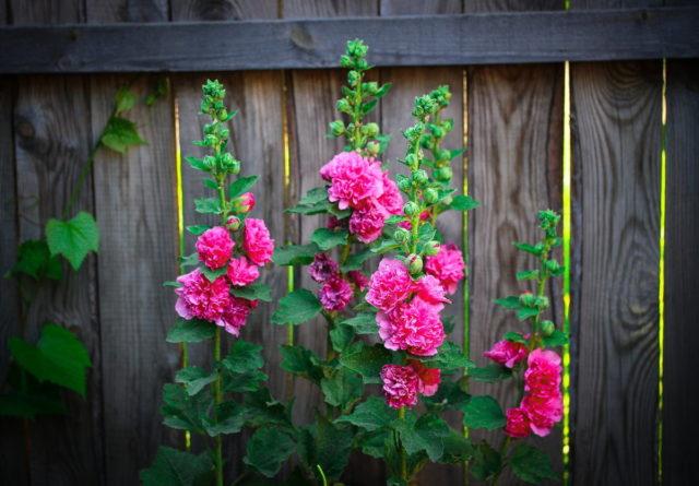 Цветок мальва — как посадить и ухаживать за растением на даче