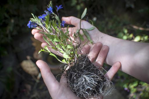 Цветы лобелия — использование в ландшафтном дизайне дачного участка