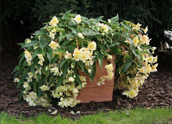 Бегония садовая — как посадить и ухаживать за цветком на даче
