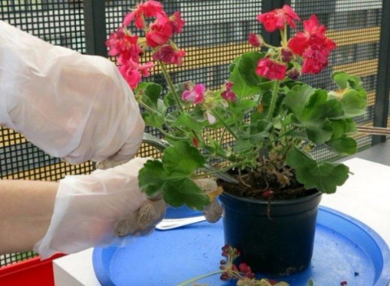 Как размножается клубневая бегония — способы разведения цветка на даче