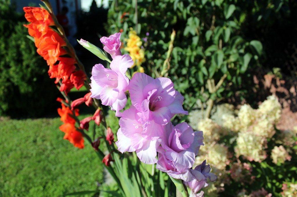 Цветы гладиолусы — как правильно ухаживать за ними на даче