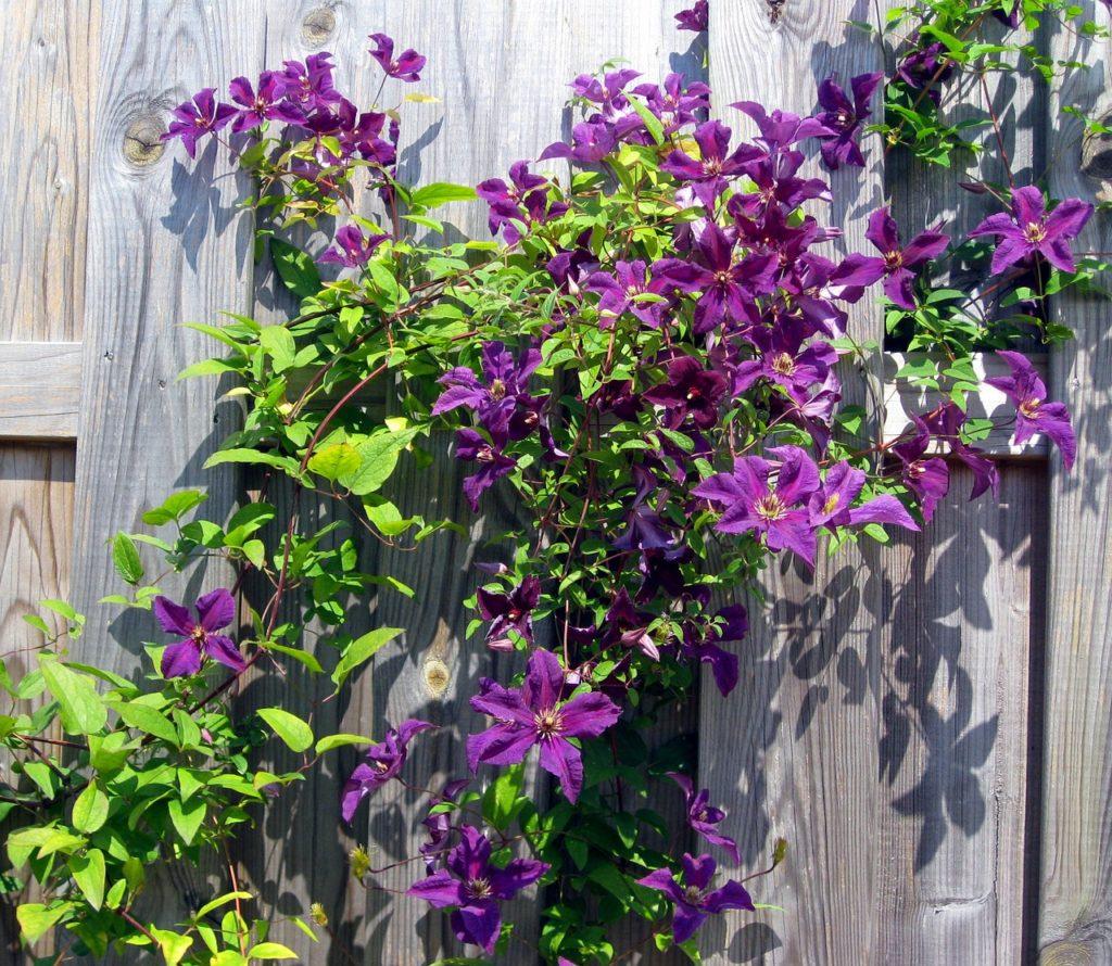 Как правильно посадить клематис на садовом участке