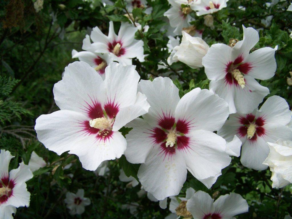 Шток-роза — выращивание и уход за цветами мальвы в саду