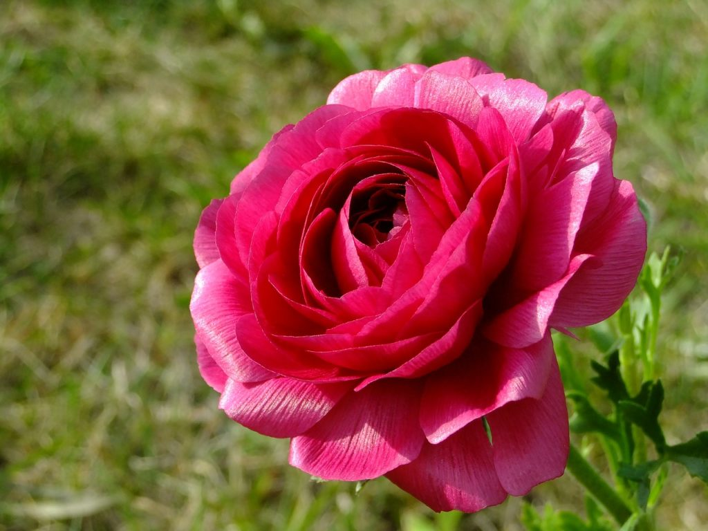 Цветы ранункулюс — посадка и уход на дачном участке
