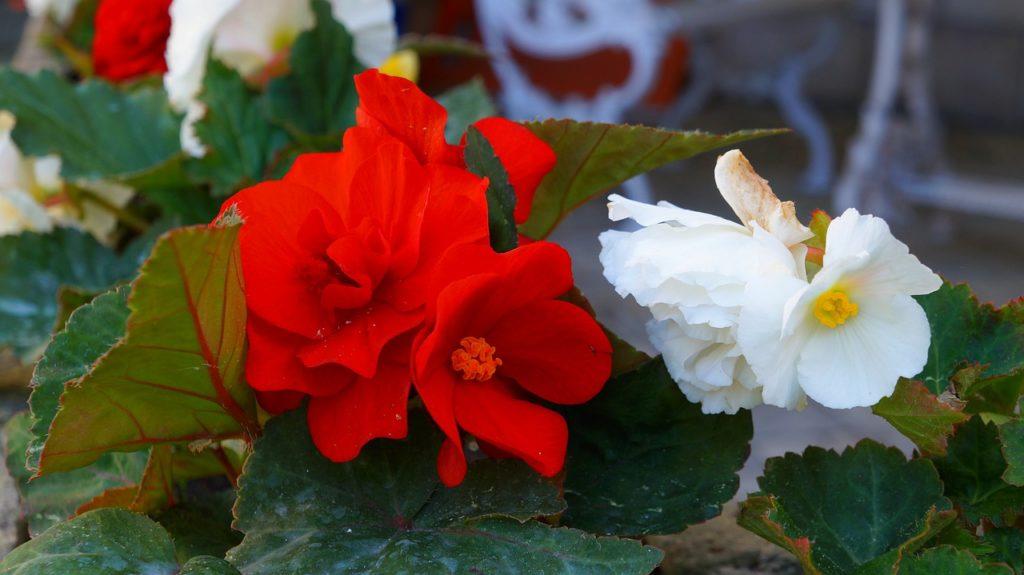 Цветок бегония — описание и особенности ухода за растением в саду