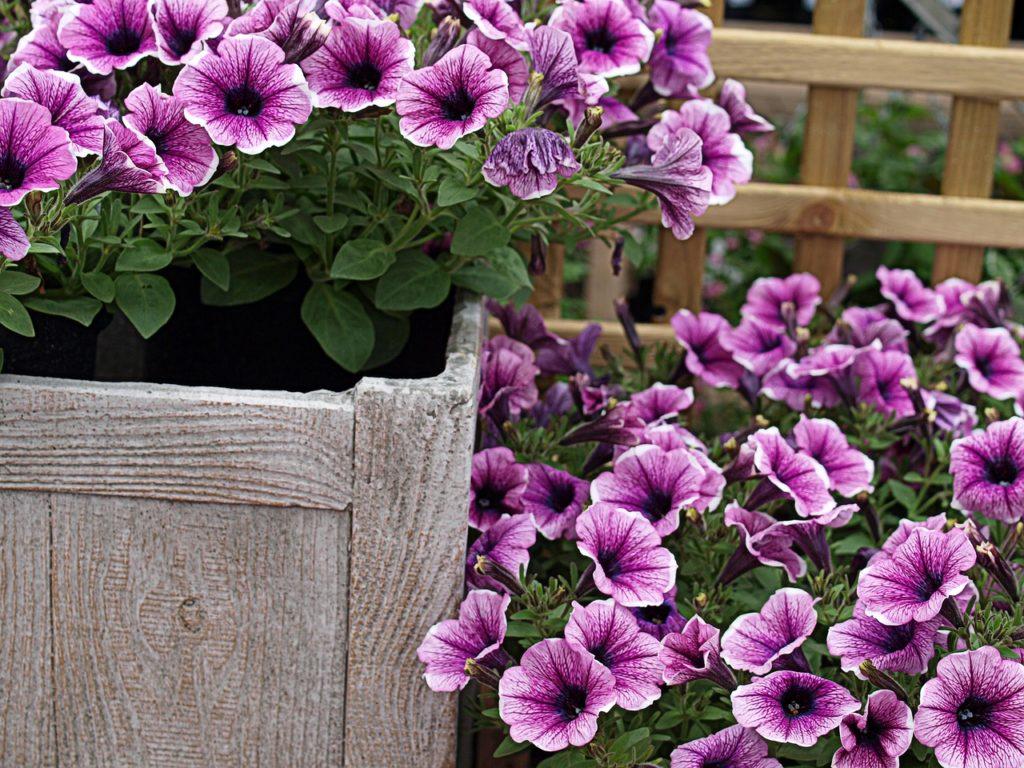 Цветы петуния — нюансы посадки и выращивания растения в саду