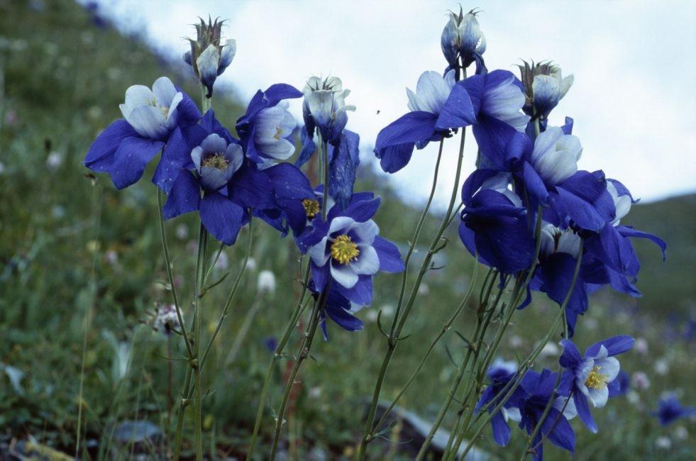 Цветок водосборник — использование в ландшафтном дизайне дачи